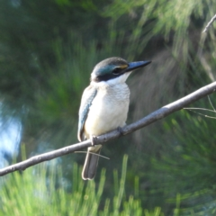 Todiramphus sanctus (Sacred Kingfisher) at Jerrabomberra Wetlands - 8 Jan 2021 by MatthewFrawley