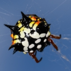 Austracantha minax (Christmas Spider, Jewel Spider) at Flea Bog Flat, Bruce - 29 Dec 2020 by kasiaaus