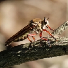 Colepia ingloria (A robber fly) at Point Hut to Tharwa - 10 Jan 2021 by RodDeb