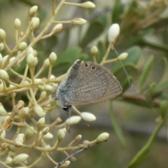 Nacaduba biocellata (Two-spotted Line-Blue) at Theodore, ACT - 7 Jan 2021 by Owen