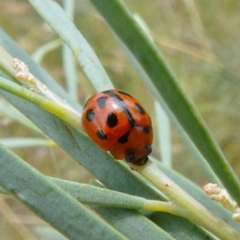 Peltoschema basicollis (Leaf beetle) at Theodore, ACT - 7 Jan 2021 by Owen
