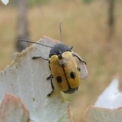 Cadmus (Cadmus) litigiosus (Leaf beetle) at Theodore, ACT - 7 Jan 2021 by Owen