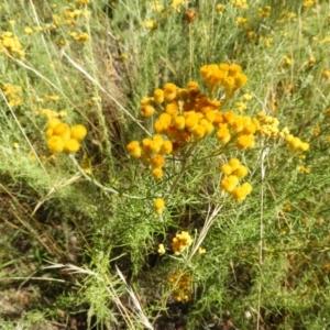 Chrysocephalum semipapposum at Mount Ainslie - 9 Jan 2021