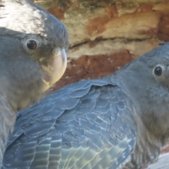 Callocephalon fimbriatum (Gang-gang Cockatoo) at Mount Mugga Mugga - 11 Jan 2021 by roymcd