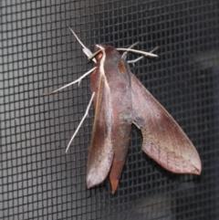 Hippotion scrofa (Coprosma Hawk Moth) at Moruya, NSW - 9 Jan 2021 by LisaH