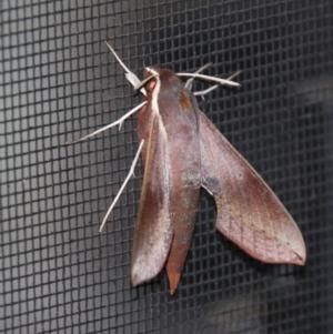Hippotion scrofa (Coprosma Hawk Moth) at suppressed by LisaH