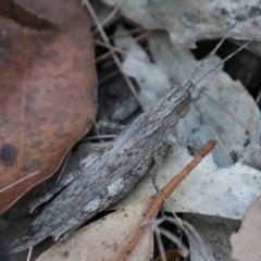 Coryphistes ruricola (Bark-mimicking Grasshopper) at suppressed - 9 Jan 2021 by LisaH