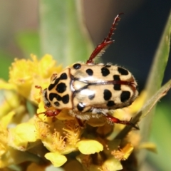 Neorrhina punctatum (Spotted flower chafer) at suppressed - 9 Jan 2021 by LisaH