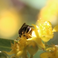 Unidentified Ant / Bee / Wasp (TBC) at Moruya, NSW - 9 Jan 2021 by LisaH