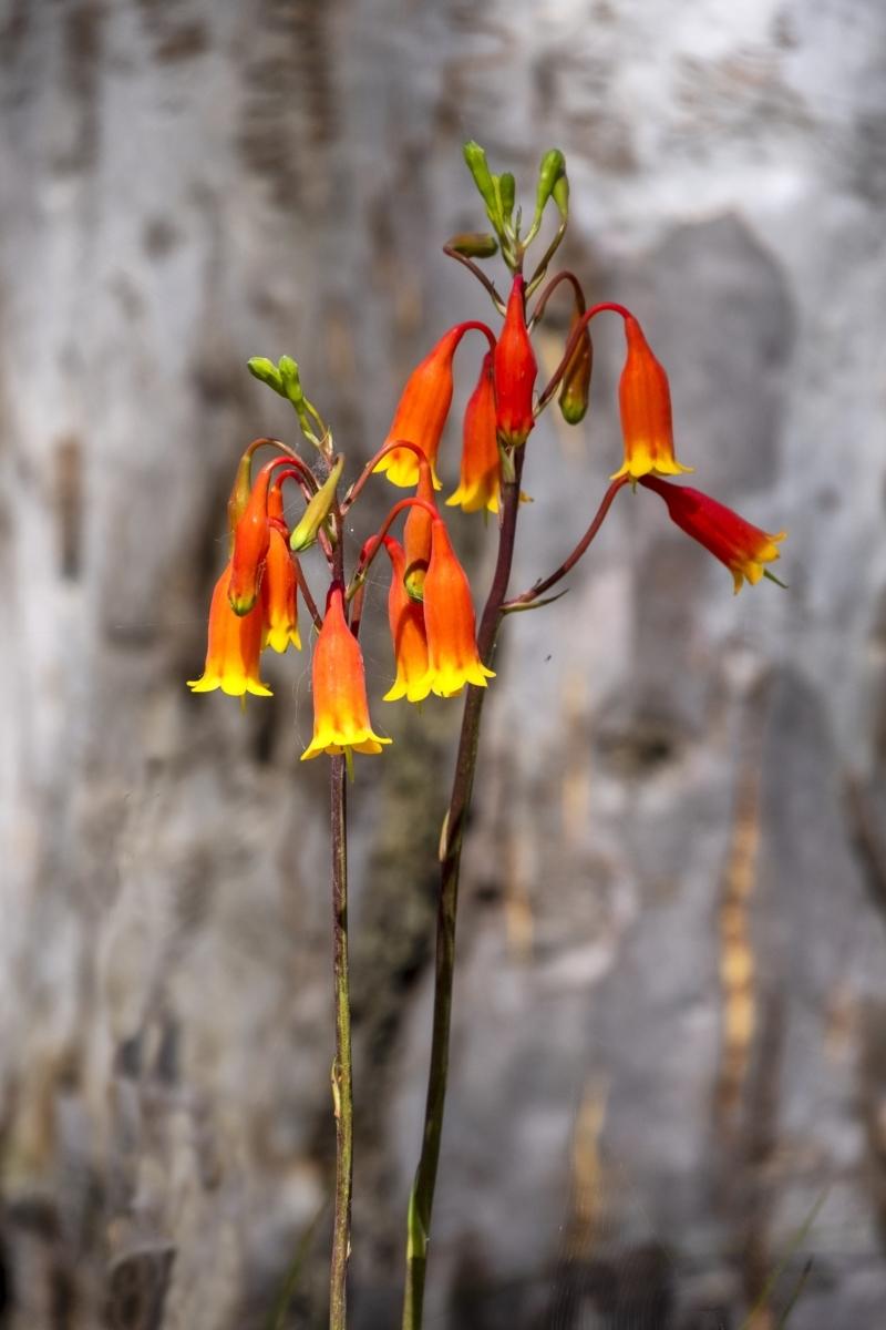 Blandfordia nobilis at Bundanoon - 11 Jan 2021