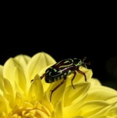 Eupoecila australasiae (Fiddler Beetle) at Wingecarribee Local Government Area - 9 Jan 2021 by Aussiegall