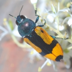 Castiarina skusei (A Jewel Beetle) at Aranda Bushland - 11 Jan 2021 by Harrisi
