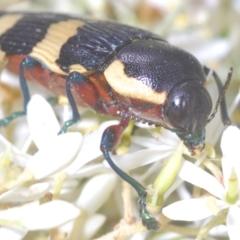 Castiarina marginicollis (A jewel beetle) at Gigerline Nature Reserve - 9 Jan 2021 by Harrisi
