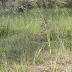 Austrostipa bigeniculata (Kneed Speargrass) at Tuggeranong Hill - 3 Nov 2020 by michaelb