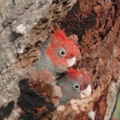 Callocephalon fimbriatum (Gang-gang Cockatoo) at Red Hill Nature Reserve - 11 Jan 2021 by roymcd