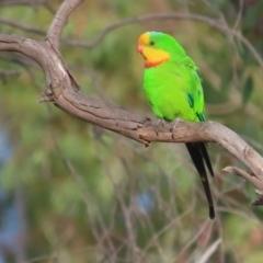 Polytelis swainsonii (Superb Parrot) at Garran, ACT - 11 Jan 2021 by roymcd