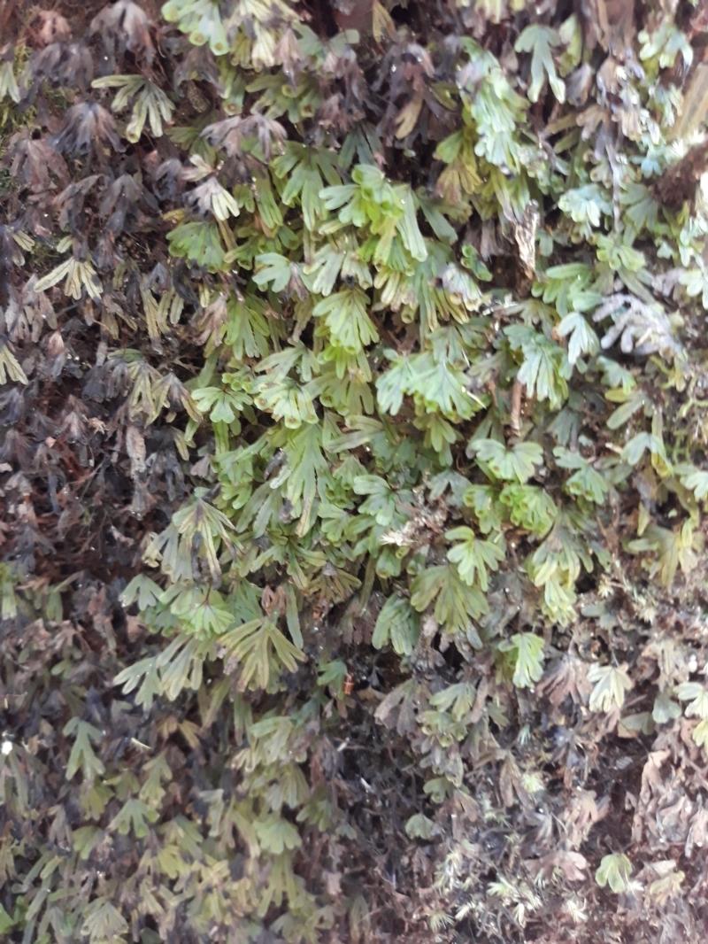 Hymenophyllum lyallii at Budderoo National Park - 11 Jan 2021