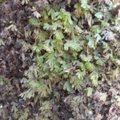 Hymenophyllum lyallii at - 10 Jan 2021 by plants