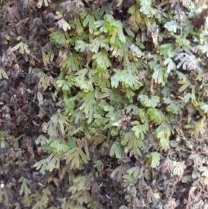 Hymenophyllum lyallii at Robertson by plants