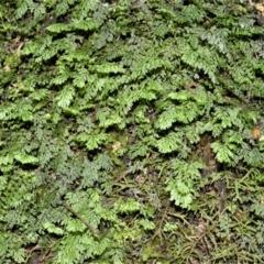 Hymenophyllum cupressiforme (Common Filmy Fern) at Barrengarry, NSW - 11 Jan 2021 by plants