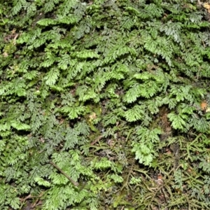 Hymenophyllum cupressiforme (Common filmy fern) at Barrengarry, NSW by plants