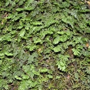 Hymenophyllum cupressiforme at Barrengarry, NSW - 11 Jan 2021