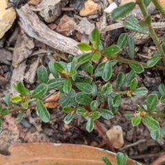 Phyllanthus hirtellus (Thyme Spurge) at Currawang, NSW - 6 Jan 2021 by camcols