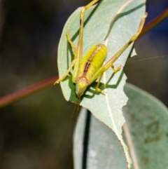 Tettigoniidae sp. (family) (Unidentified katydid) at ANBG - 10 Jan 2021 by Roger