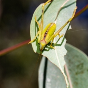 Tettigoniidae sp. (family) at ANBG - 11 Jan 2021