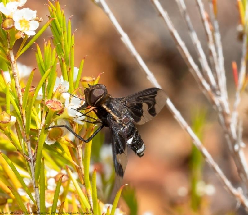 Balaana sp. (genus) at ANBG - 11 Jan 2021