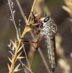 Zosteria sp. (genus) (Common brown robber fly) at ANBG - 10 Jan 2021 by Roger