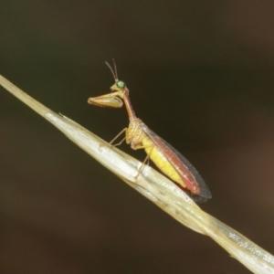 Mantispidae (family) at ANBG - 3 Jan 2021