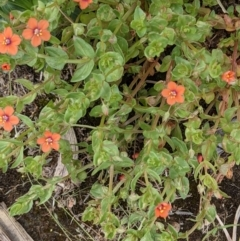 Lysimachia arvensis (Scarlet Pimpernel, Blue Pimpernel) at Currawang, NSW - 23 Dec 2020 by camcols