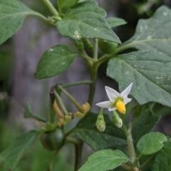 Solanum nigrum (Black-berry Nightshade) at Currawang, NSW - 12 Jan 2021 by camcols