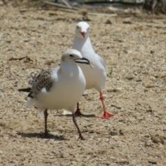Chroicocephalus novaehollandiae (Silver Gull) at Lake Burley Griffin West - 4 Nov 2020 by Christine