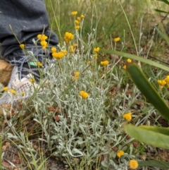 Chrysocephalum apiculatum (Common Everlasting) at Currawang, NSW - 14 Dec 2020 by camcols