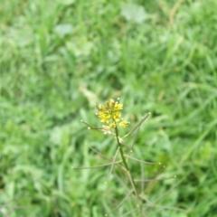 Sisymbrium erysimoides (Smooth mustard) at Jones Creek, NSW - 17 May 2014 by abread111