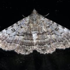 Diatenes aglossoides at Ainslie, ACT - 10 Jan 2021