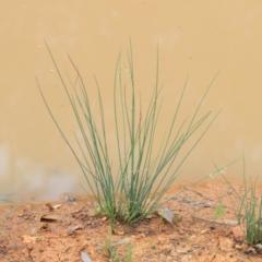 Juncus remotiflorus at Dryandra St Woodland - 12 Jan 2021