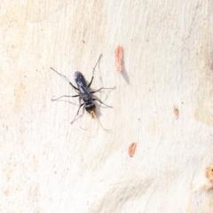 Fabriogenia sp. (genus) (Spider wasp) at Dryandra St Woodland - 11 Jan 2021 by ConBoekel