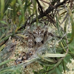 Backobourkia sp. (genus) (An orb weaver) at Aranda Bushland - 11 Jan 2021 by CathB