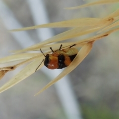 Aporocera (Aporocera) flaviventris (A case bearing leaf beetle) at Aranda Bushland - 11 Jan 2021 by CathB