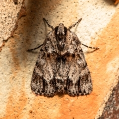 Spectrotrota fimbrialis (A Pyralid moth) at Umbagong District Park - 11 Jan 2021 by Roger