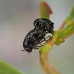 Ditropidus sp. (genus) (TBC) at Aranda Bushland - 11 Jan 2021 by CathB
