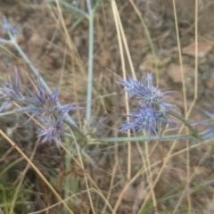 Eryngium ovinum (Blue Devil) at Gundaroo, NSW - 12 Jan 2021 by MPennay