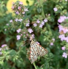 Utetheisa pulchelloides (Heliotrope Moth) at Murrumbateman, NSW - 11 Jan 2021 by SimoneC