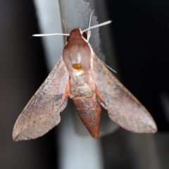 Hippotion scrofa (Coprosma Hawk Moth) at O'Connor, ACT - 10 Jan 2021 by ibaird