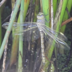Anax papuensis (Australian Emperor) at Jerrabomberra Wetlands - 8 Jan 2021 by MatthewFrawley