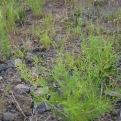 Schkuhria pinnata (Curious Weed, Dwarf Mexican Marigold) at The Pinnacle - 12 Jan 2021 by pinnaCLE