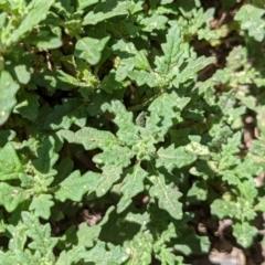 Dysphania pumilio (Small Crumbweed) at Currawang, NSW - 12 Jan 2021 by camcols